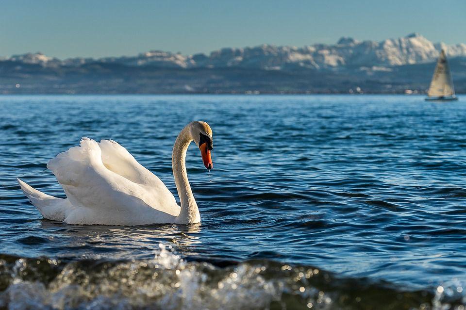 Наблюдение за птицами на Боденском озере